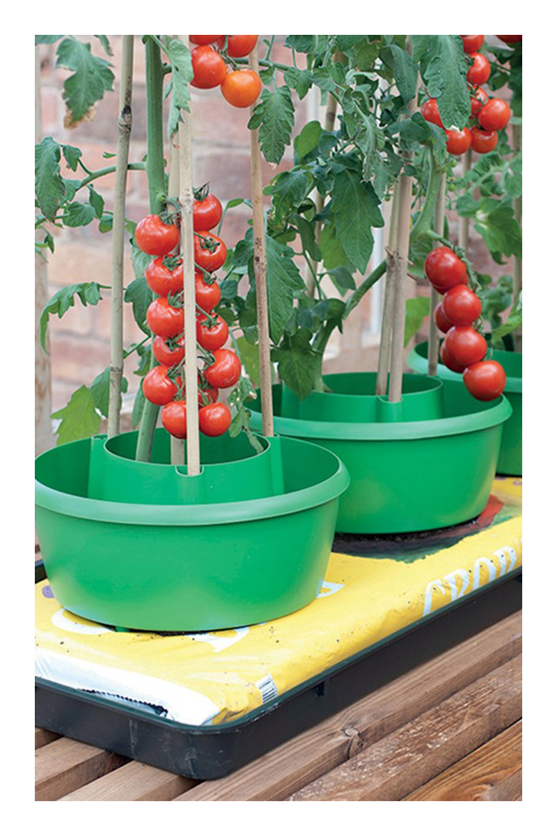 growing heirloom tomatoes in pots