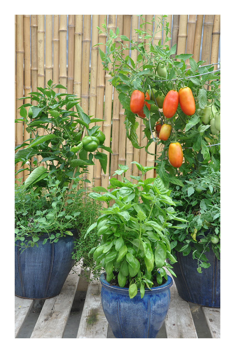 growing greenhouse tomatoes in pots