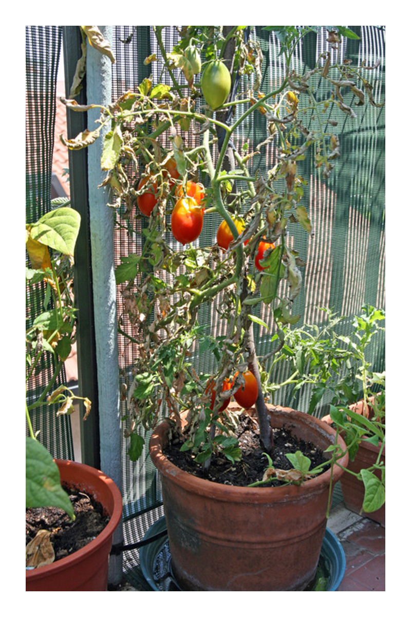 best soil for growing tomatoes in pots