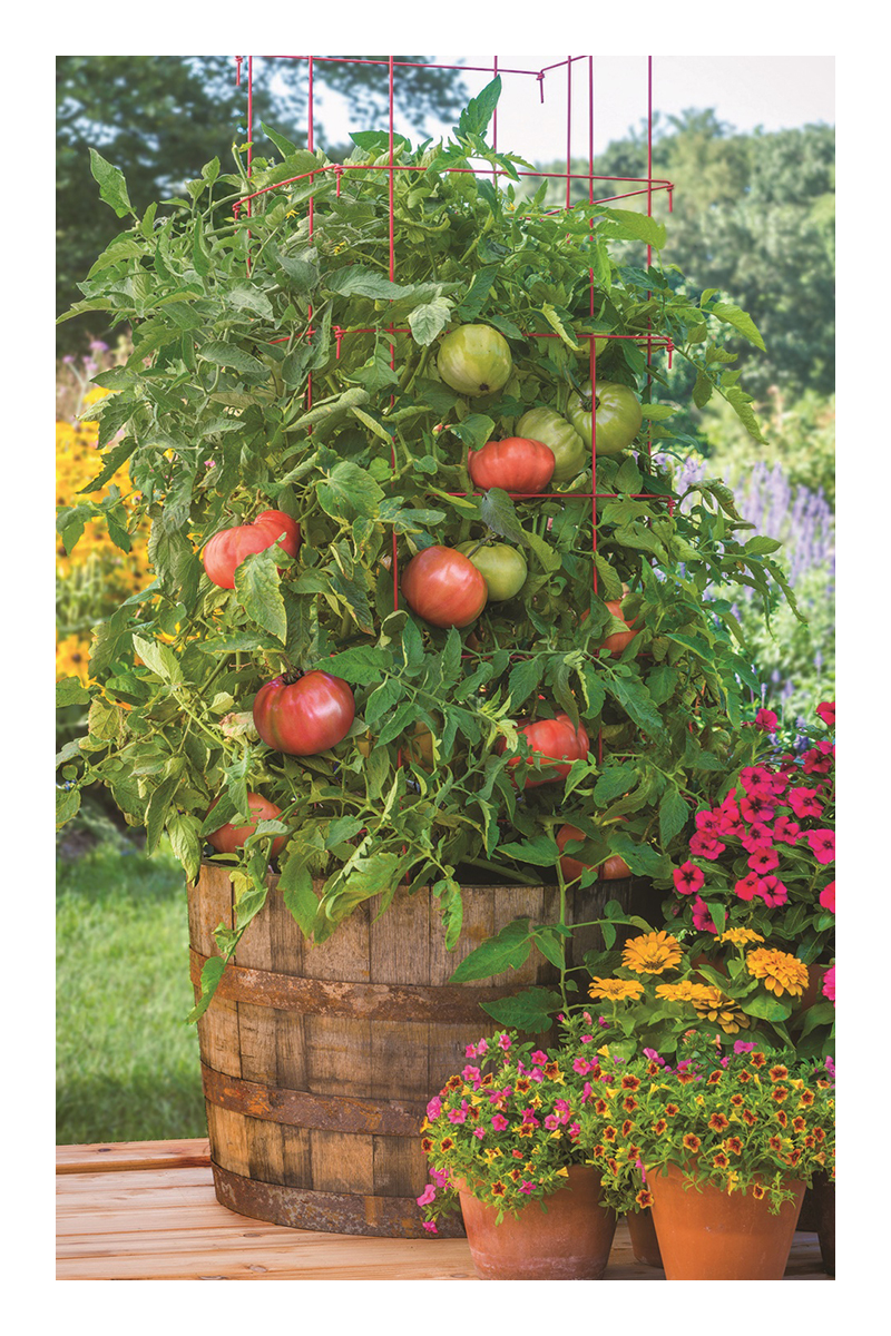 growing tomatoes in pots from seeds
