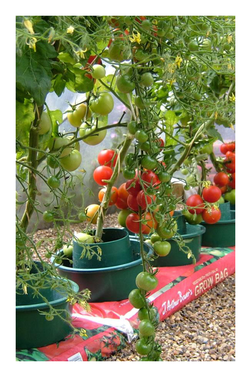 growing tomatoes in pots upside down