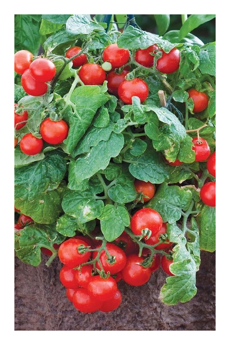 growing tomatoes in pots is easy